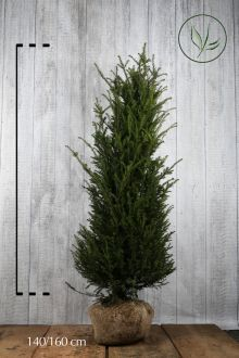 Tasso comune Zolla 140-160 cm Qualità extra
