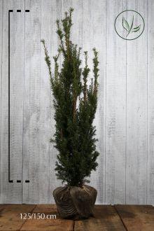 Tasso 'Hicksii' Zolla 125-150 cm