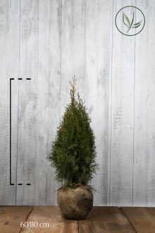 Tuia 'Smaragd' Zolla 60-80 cm Qualità extra