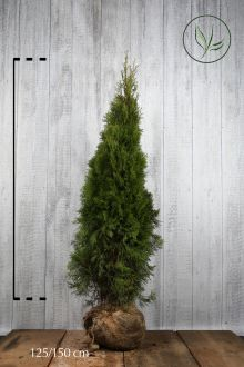 Tuia 'Smaragd' Zolla 125-150 cm Qualità extra