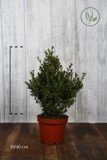 Bosso - Arbusti Contenitore 30-40 cm