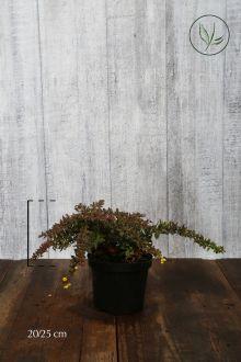Crespino verrucoso Contenitore 20-25 cm