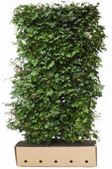 Acero campestre Siepe pronta 200 cm Siepe-pronta