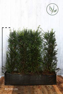 Tasso comune Siepe pronta 80-100 cm Siepe-pronta