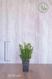 Bosso - Arbusti Contenitore 20-30 cm
