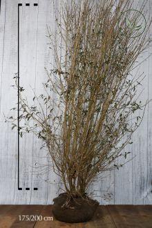 Ligustro comune Zolla 175-200 cm