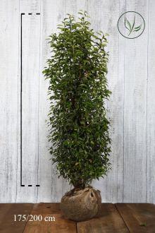 Lauro del Portogallo Zolla 175-200 cm Qualità extra