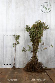 Acero campestre Radice nuda 40-60 cm
