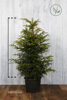 Tasso comune Contenitore 100-125 cm