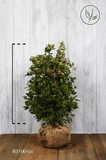 Viburno o Lentaggine Zolla 80-100 cm