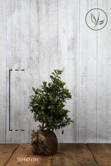 Viburno o Lentaggine Zolla 50-60 cm