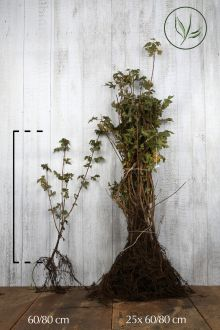Acero campestre Radice nuda 60-80 cm