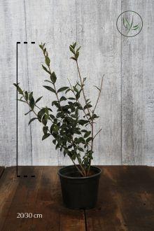 Ligustro comune Contenitore 20-30 cm