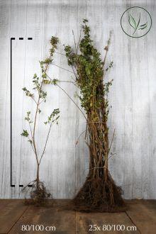 Acero campestre Radice nuda 80-100 cm Qualità extra