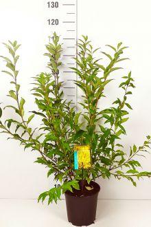 Forsizia spectabilis Contenitore 60-80 cm Qualità extra