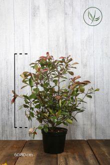 Fotinia 'Red Robin' Contenitore 60-80 cm Qualità extra