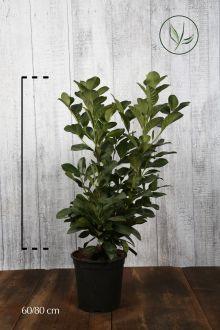 Lauroceraso 'Etna' Contenitore 60-80 cm Qualità extra