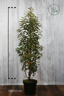 Lauro del Portogallo Contenitore 100-125 cm Qualità extra
