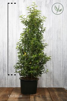 Lauro del Portogallo Contenitore 125-150 cm Qualità extra