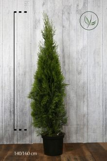 Tuia 'Smaragd' Contenitore 140-160 cm Qualità extra