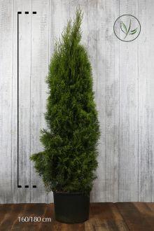 Tuia 'Smaragd' Contenitore 160-180 cm Qualità extra