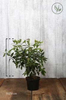 Viburno o Lentaggine Contenitore 50-70 cm