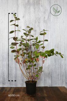Corniolo alba 'Sibirica' Contenitore 60-80 cm Qualità extra