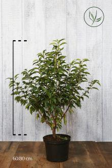Lauro del Portogallo Contenitore 60-80 cm