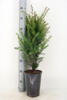 Tasso comune Contenitore 50-60 cm Qualità extra