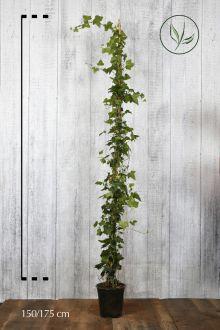 Edera comune Contenitore 150-175 cm