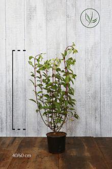 Ortensia 'Vanille Fraise' Contenitore 40-60 cm Qualità extra