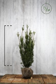 Tasso 'Hicksii' Zolla 100-125 cm