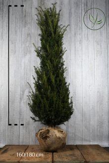 Tasso comune Zolla 160-180 cm Qualità extra