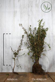 Biancospino Radice nuda 40-60 cm