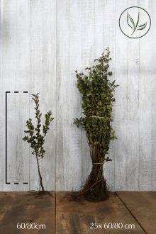 Biancospino Radice nuda 60-80 cm