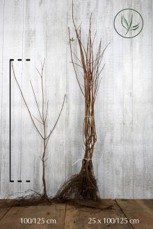 Acero campestre Radice nuda 100-125 cm Qualità extra