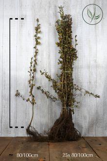 Biancospino Radice nuda 80-100 cm