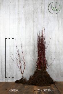 Corniolo alba 'Elegantissima' Radice nuda 60-80 cm