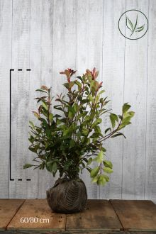 Fotinia 'Red Robin' Zolla 60-80 cm
