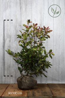 Fotinia 'Red Robin' Zolla 80-100 cm