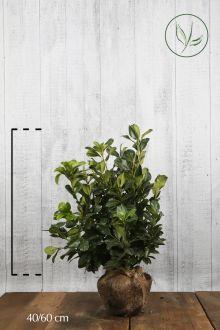 Lauroceraso 'Etna' Zolla 40-60 cm Qualità extra