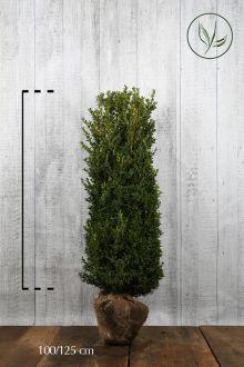 Bosso - Arbusti Zolla 100-125 cm Qualità extra