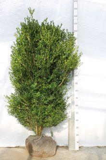 Bosso - Arbusti Zolla 125-150 cm Qualità extra
