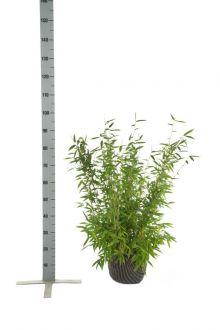 Fargesia murieliae 'Jumbo' Zolla 60-80 cm