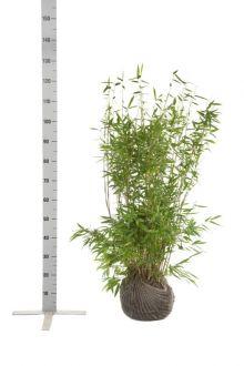 Fargesia murieliae 'Jumbo' Zolla 80-100 cm