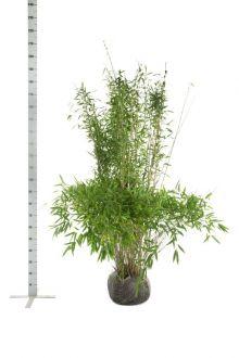 Fargesia murieliae 'Jumbo' Zolla 150-175 cm