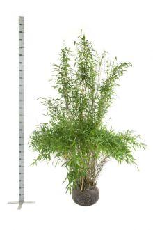 Fargesia murieliae 'Jumbo' Zolla 175-200 cm