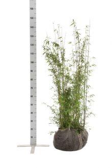 Fargesia jiuzhaigou Zolla 100-125 cm