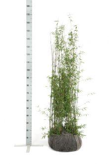 Fargesia jiuzhaigou Zolla 125-150 cm