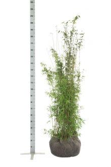 Fargesia jiuzhaigou Zolla 150-175 cm